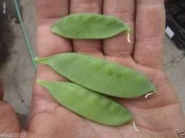 Pea, Oregon Giant Snow,Organic,Heirloom,NON-GMO ( 300 Seed) Grow Your Own! - $10.40