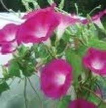 Flower - Morning Glory - Crimson Rambler - Non-Hybrid - St. Clare Heirlo... - $1.99