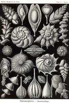 Thalamophora - Forminifera by Ernst Haekel - Art Print - $19.99+