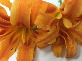 ORANGE DOUBLE BLOOM Daylily 3 fans/root systems image 6