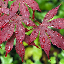 Bloodgood Japanese Maple gallon pot image 1