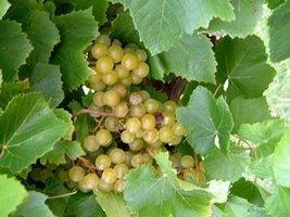 10 Bare Root of Blanc du Bois Wine Grape Vine 3 Year Old Vine - $376.20