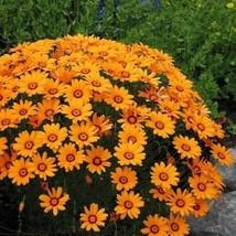 Ursinia Solar Fire Flower Seeds (Ursinia Anthemoides) 50+Seeds - $5.43+