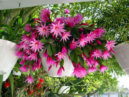 SHIP FROM US 2 Easter Orchid Cactus Epiphyllum Hatiora Fresh plant cutti... - $11.59