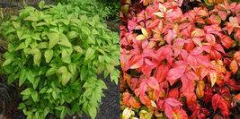 10 Dwarf Nandina Firepower plants (ornamental shrub) image 2