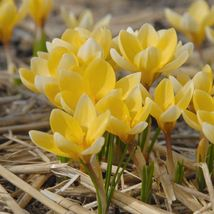 "25 Crocus Bulbs "" (bag of 25) Romance,Bulb Size: Top Size 9/10 cm - $30.53"