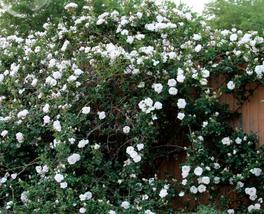 50pcs Very Elegant Single Petals White Climbing Rose Flower,strong fragr... - $14.89