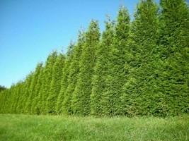 "Green Giant 12-18"" quart pot Arborvitae Thuja plicata  image 2"