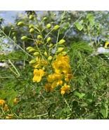 Caesalpinia Mexicana Plant Seeds 1 Dozen (12) Mexican Bird of Paradise Y... - $6.92