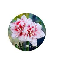 HAPPY FLOWER 2 Bulbs SUKOHARJO True Hippeastrum Rutilum Amaryllis Love S... - $1.79