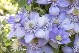 CLEMATIS Blue Light 200 seeds - $26.99