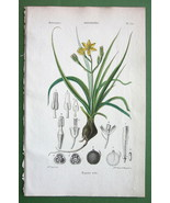 GOLDEN WINTER STAR Flower Hypoxis villosa Plant - H/C COLOR Botanical Print - $20.25