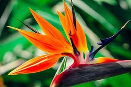 Spring Special - Bird of Paradise Seeds - 1 Pack - $17.70
