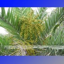 20 Seed Date Palm Phoenix Dactylifera Tree Seed, DIY Beautiful Tree DO - $10.99