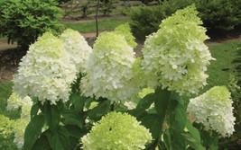 LIMELIGHT Hydrangea shrub PP#12874 image 1