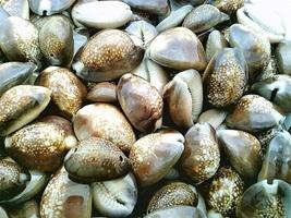 Snakehead Cowry Sea Shell Craft Specimen Jewelry - $12.01