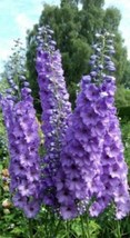50 Pcs Seeds Purple Delphinium Mixed Perennial Flower- RK  - $14.00