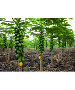 Dwarf Solo Papaya Tree! 10 Seeds! Small fruit! PERFECT FOR GROWING IN POTS - $16.98