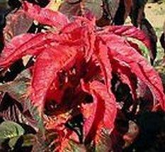 100 Amaranthus (Molten Fire) Seeds - $6.93