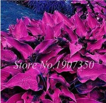 BEST PRICE 120 Seeds Colorful Hosta Home Garden Cover,DIY Plant Seeds DL... - $6.21