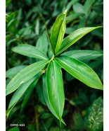 Ayurvedic Thebu natural Dry Insulin Plant Leaf Powder (Costus Igneus) - $7.25