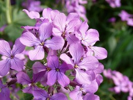 Evening Scented Stock- 250 Seeds - - $3.98