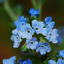 Non GMO Bulk Chinese Forget Me Not Seeds Cynoglossum amabile (10 lbs) - $218.74