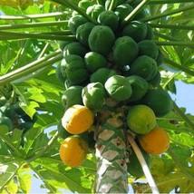 20Pcs Mountain Papaya Tree Seeds Carica Pubescens Fruit Seed - $20.54