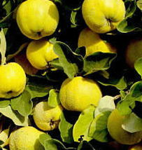 Provence Quince heirloom fruit tree seedling hardy edible Pear Family LI... - $32.10