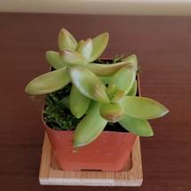 "LIVE SUCCULENT Sedum Firestorm 2"" potted plant sedum adolphi golden image 2"