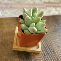 "LIVE SUCCULENT Graptoveria Opalina 2"" plant, blue green rosette image 2"
