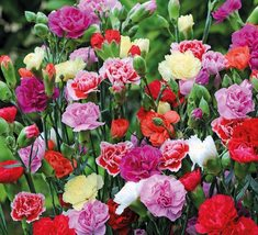 150 Carnation Seeds Chabaud Mix Flower Seeds Flower Seeds Outdoor Living - $49.99