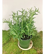 """Huntington Carpet Rosemary Plant - Inside or Out - Live Plant Fit 4"""" Pot - $2.99"""