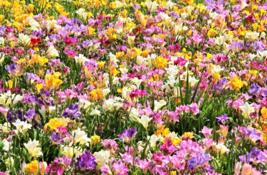 5 Pcs Seeds Freesia Royal Champion Pink Blue Purple Yellow Mixed Flower - DL - $16.00