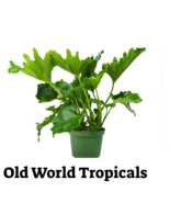 """LIVE PLANT Philodendron """"Hope""""Tropical Ornamental Garden Exotic Plant - $13.81"""