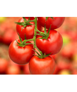 25 Fresh Seeds - Tomato Campari - Sweet & Yummy - Hand Picked Organically - $3.90