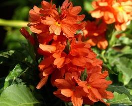 200 pcs Organic Crossandra Seeds Flower seeds for sale - $11.99