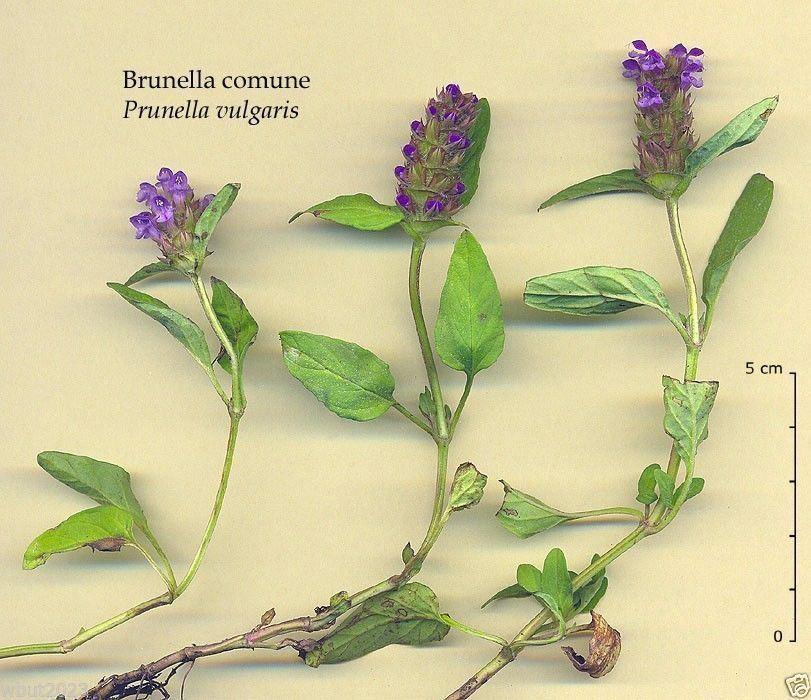 30 PRUNELLA RUBRA FLOWER SEED// GROUND-COVER PERENNIAL