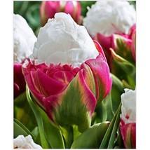 2 Pieces Rare Double Tulip Ice Cream Bulbs Root Flowers High-Grade Best ... - $3.50