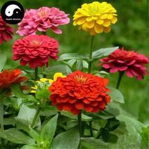 Buy Zinnia Elegans Flower Seeds 120pcs Plant Flower Zinnia Elegans Garden - $9.99