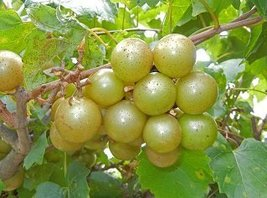 1 Bare Root of Fry Muscadine 2-4' - $41.58