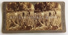 1899 antique PINEAPPLE FIELD MAYAGUEZ PUERTO RICO STEREOVIEW PHOTO vgc W... - $28.95
