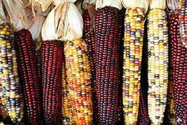 Indian Corn Ornamental 400 Seeds High Yields Colorful Large Ears Tkmokey - $59.40