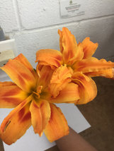 ORANGE DOUBLE BLOOM Daylily 3 fans/root systems image 2