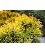 11 Year PLANT of Pinus Mugo Winter Sonne - $688.05