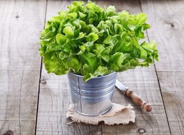 Lettuce Oakleaf Non GMO Heirloom Garden Vegetable Seeds Sow No GMO® USA - $2.86+