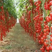 100/bag Climbing Tomato Bonsai Tomato Plants (1), HZ Healthy Vegetable S... - $8.89