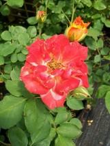 2 Year Pinata Yellow Orange Rose Live Bush Plants Shrub Plant Outdoor Ga... - $135.99