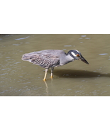 Yellow Crowned Night Heron 13 x 19 Unmatted Photograph - $35.00