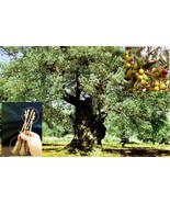 """5 Green Olive """"ARBEQUINA"""" Tree Cutting + 40 """"ARBEQUINA"""" seeds - $38.30"""